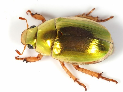 Where have all the Christmas Beetles Gone?