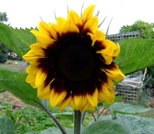 Summer is perfect for growing sunflowers