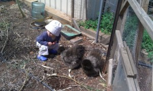 Chickens are great for kids' gardens