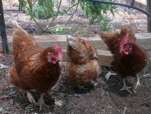 Chickens make a great additiesion to famil