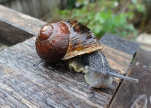The soft part of a snail's body is called the foot
