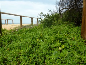 Beach warrigal greens