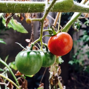 Cherry tomatoes on bush
