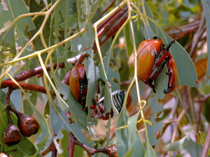 Christmas Beetles munching on Eucalyptus leaves