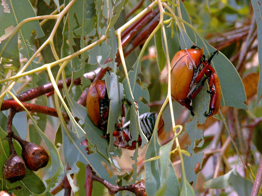 Christmas Beetles.Where Have All The Christmas Beetles Gone Gardening 4 Kids