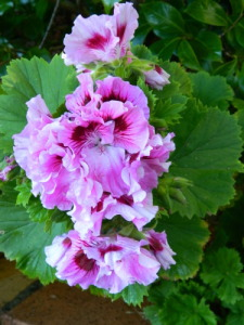 Geraniums grow easily from cuttings