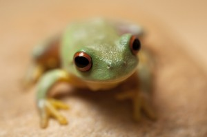 Frogs can help control pests in the garden