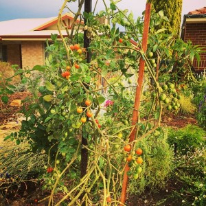 Cherry Tomatoes are great to eat straight off the bush