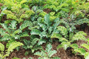 Kale is a great vegie for kids to grow