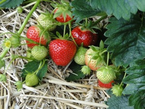 Strawberries - Kids love to eat them straight off the bush